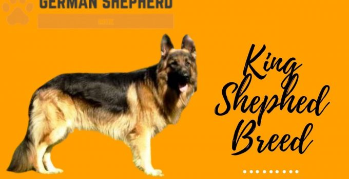 King Shepherd Breed Info: Complete Guide