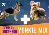 German Shepherd Yorkie Mix: Complete Overview