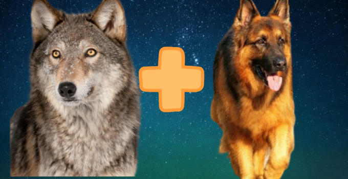 German Shepherd Wolf Mix: This Wolfdog Right For You?