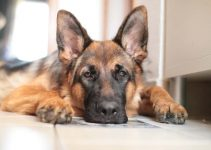 How Long Can German Shepherds be Left Alone?