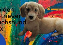Golden Retriever Dachshund Mix: Complete Guide