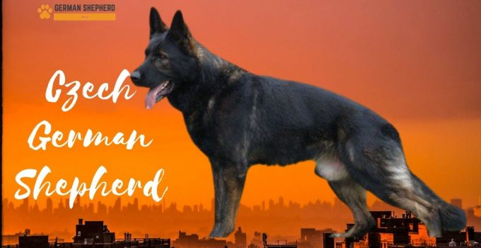Czech German Shepherds: Complete Guide